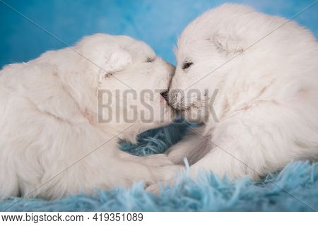 Two Small One Month Old Cute White Samoyed Puppies Dogs