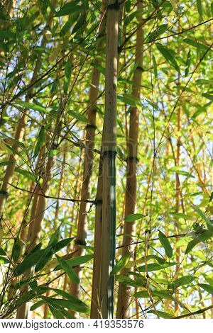 Bamboo Branch In Bamboo Forest, Beautiful Green Nature Background