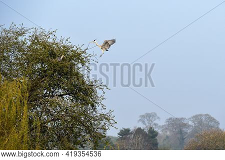 Grey Heron Or Ardea Cinerea In Flight Over A Lake And Building A Nest