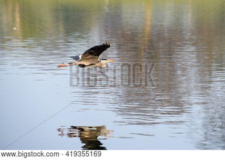 Grey Heron Or Ardea Cinerea In Flight Over A Lake