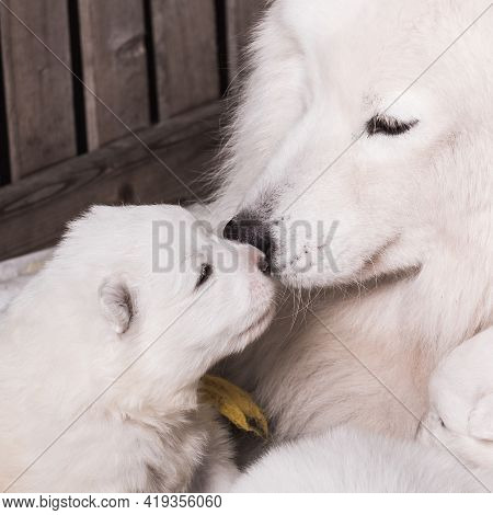 Samoyed Dog Mother With Puppy. Two Samoyed