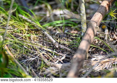 Small Grass Snake A Sunny Warm Day In May