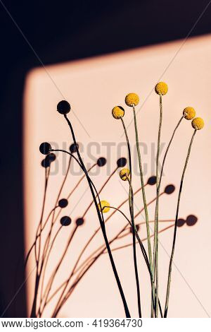 Bunch Of Flower Heads Of Craspedia Globosa In Mustard-yellow Color, Looks Like Ping-pong Balls On Up