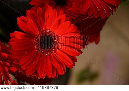 Gerber Very Nice Red Flower Close Up