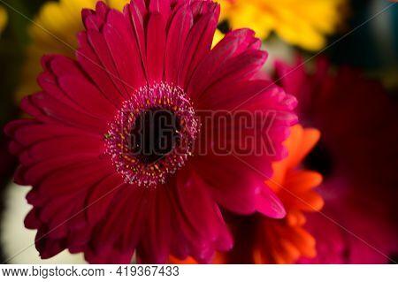 Gerber Very Nice Colorfiul Flower Close Up