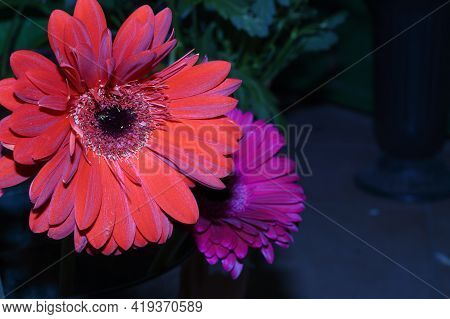 Very Nice Gerber  Colorful Flower Close Up