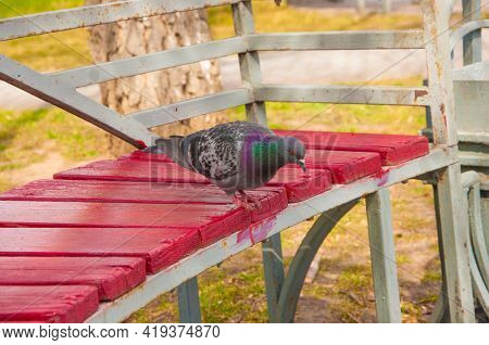 Beautiful closeup view of common city feral pigeon (Columbidae) sitting on the bench