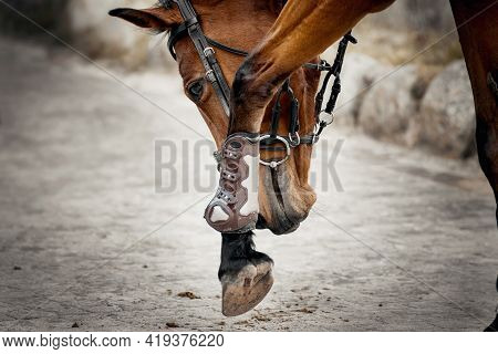 Equestrian Sport. The Horse Rubs Its Muzzle Against Its Front Leg. Portrait Sports Red Stallion In T