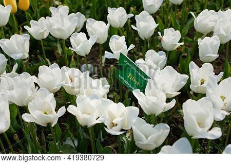 Yalta April 28, 2021 Nikitsky Botanical Garden Tulip Parade. Variety Of White Tulips Tibet Close - U