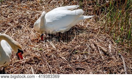 Mute Swan In The Nest Hatching Eggs In Spring. Cygnus Olor In Natural Environment In Switzerland. Be