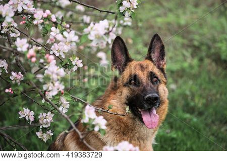 Cherry Blossoms And Apple Trees. German Shepherd Black And Red Color And Blooming Gardens. Portrait