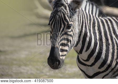 The Hartmann\'s Mountain Zebra, Equus Zebra Hartmannae Is A Subspecies Of The Mountain Zebra Found I