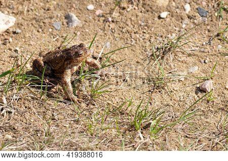 Common Frog Rana Temporaria, Also Known As European Common Frog, European Common Brown Frog Sitting