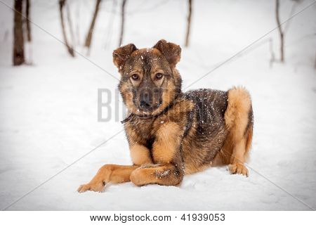 Mixed breed dog (7 mounth old) on the snow poster