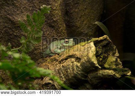 Australian Green Tree Frog, White's Tree Frog, Dumpy Tree Frog  (litoria Caerulea).