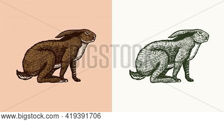 Wild Hare Or Brown Rabbit Sits. European Bunny Or Cowardly Coney. Hand Drawn Engraved Old Animal Ske