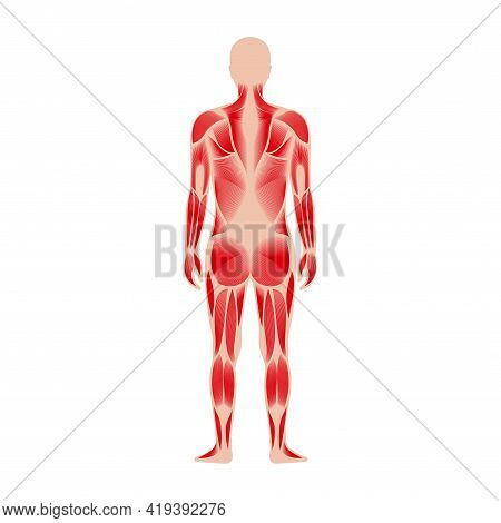Human Muscular System Anatomical Poster. Structure Of Muscle Groups Of Men In Back View. Trapezius,