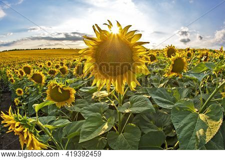 Large Field Of Blooming Sunflowers In Sunlight. Agronomy, Agriculture And Botany