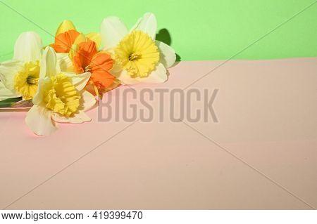 Daffodil Very Nice Colorful Spring Garden Flower