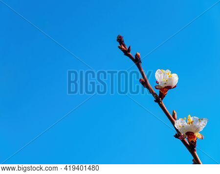 Spring Flowering Of The Apricot Fruit Tree Against The Blue Sky. White Flower. Apricot Tree. Blue Sk