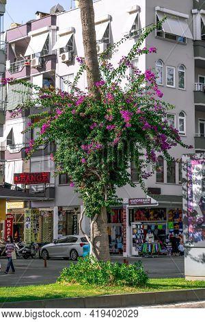 Alanya, Turkey - October 23, 2020: Bougainvillea Climbing Along A Tree Trunk On A City Street In Ala