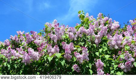 A Beautiful Blooming Syringa Vulgaris, Common Lilac Bush With Pink, Lavender Lush Flower Panicles Ag