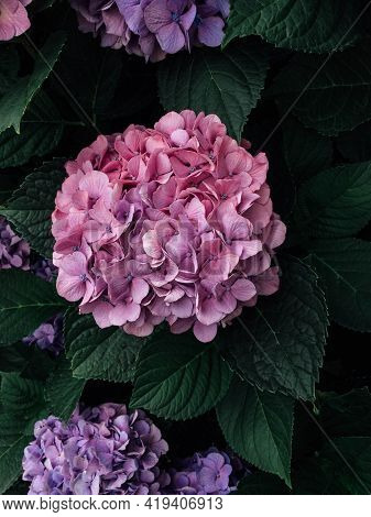 Beautiful Fresh Pink Hydrangea Flower In Full Bloom In The Garden, Close Up. Blooming Summer Floweri