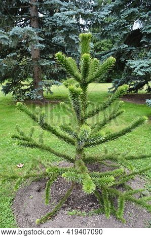 Little Coniferous Tree With Sparse Branches. Beautiful Evergreen Fir Tree Araucaria Araucana, The Mo