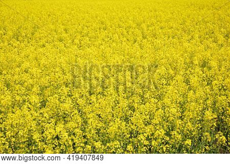 An Agricultural Field Of Yellow Blooming Rapeseed, Brassica Napus Plants. Yellow Blooming Rapeseed F
