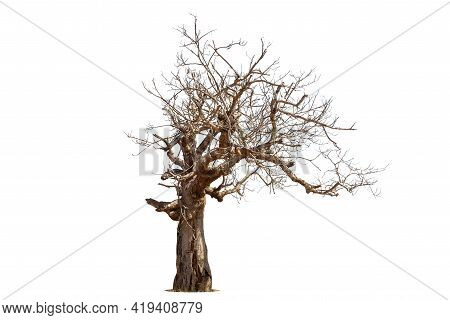 Single Old And Dead Tree Isolated On White Background.