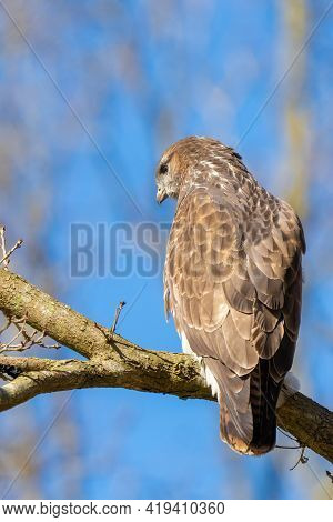 Buzzard In The Forest. Sitting On A Branch Of A Deciduous Tree In Winter. Wildlife Bird Of Prey, . D