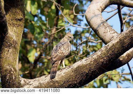 Crested Hawk Eagle, Nisaetus Cirrhatus On Tree Branch. Bandhavgarh National Park, Madhya Pradesh, In