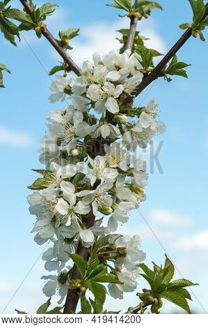 Blossoming Orchard In The Spring. Blooming Sweet Cherry Orchard Tree On A Blue Sky Background. Sprin