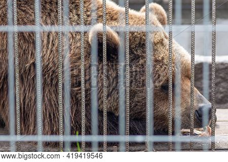 Sad Brown Bear Sleeping In A Cage With A Piece Of Fish Near The Mouth, Close Up, Wild Animal In Capt