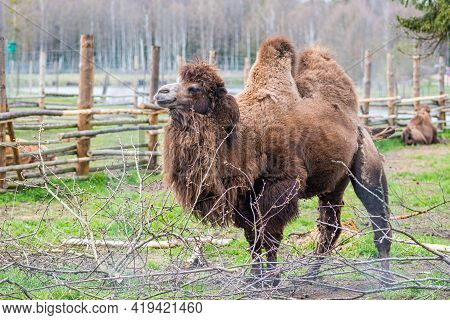 Beautiful Two Humps Camel In A Farm Or Zoo. Mongolian Camel Or Domestic Bactrian Camel, Large Even-t