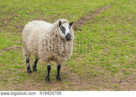 Kerry Hill Sheep, Is A Breed Of Domestic Sheep Originating In The County Of Powys In Wales, With Whi