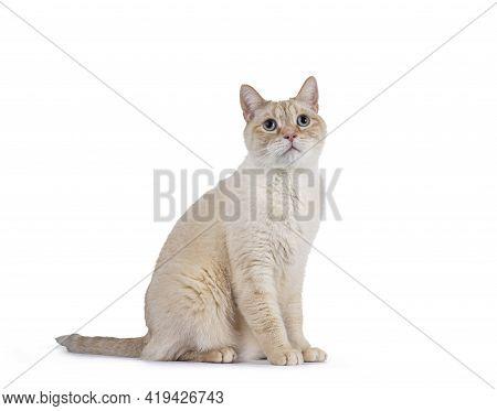 Gentle Orange House Cat, Sitting Side Ways. Looking Curiously Up With Mesmerizing Blue Eyes. Isolate