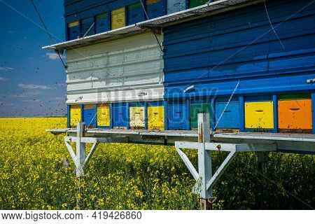 Oilseed Rape Field And Beehives On Sunny Day.