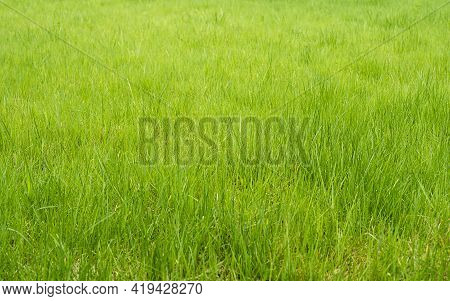 Green Grass Background Turf Grass Surface Abstract Top Image. Beautiful Green Grass Pattern From Bac