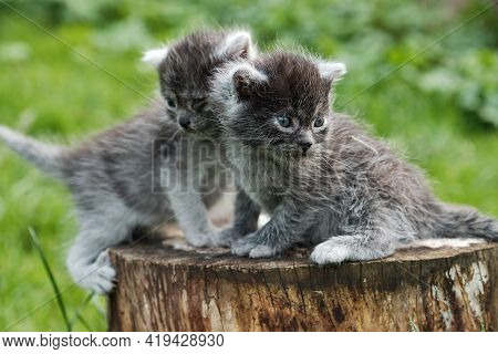 Two Dark Gray Kittens Sitting On Stump.