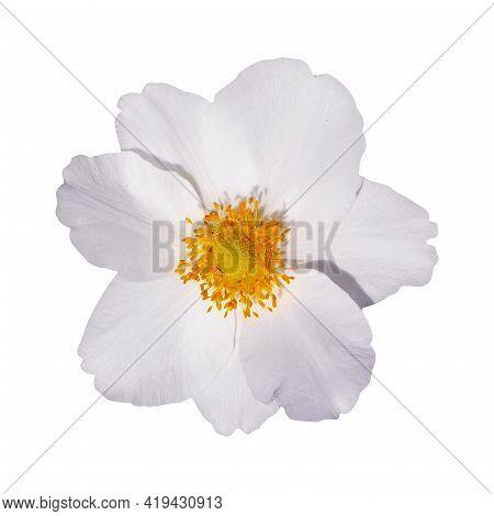 Macro Photo White Flowers Anemone On White Isolated Background