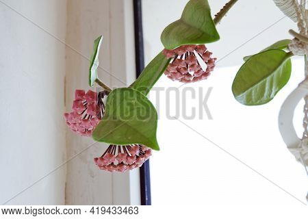 Wax Plant Buds Clusters Closeup. Rare Homeflower. Waxy Leaves And Pink Flowers