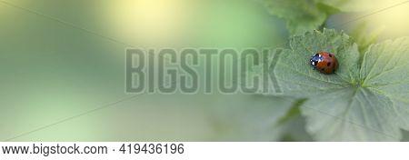 Ladybug On Green Leaf And Green Background