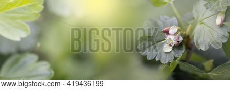 Blooming Young Gooseberry