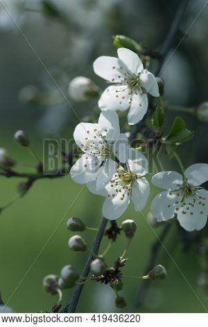 Flowering Spring Trees.spring Blossom Background.