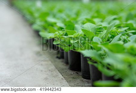 Agriculture, Spring Seedlings. Greens For Cultivation, Healthy Eating And Cultivation Plants