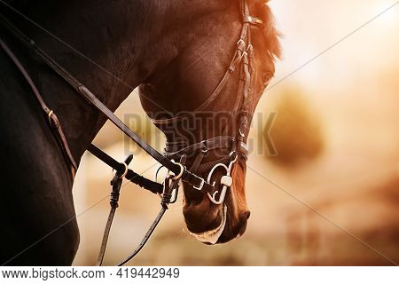 Portrait Of A Dark Bay Galloping Horse With A Bridle On Its Muzzle, Which Is Illuminated By Bright S