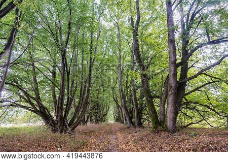 A Forest Alley. Old Beautiful Trees. Forest Trail. A Road In The Woods.