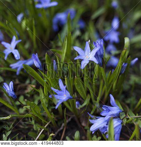 Blue Scilla (scilla Siberica) Blooming In The Garden. Shallow Depth Of Field. Selective Focus.