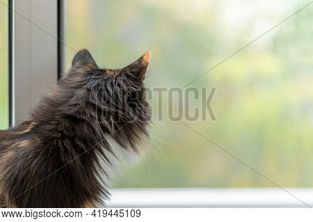 Long-haired Three-color Orange-black-and-white Cat Standing Near Window And Looking Out It.